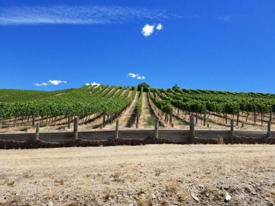 Vignes Sauvignon